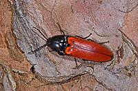 Blutroter Schnellkäfer, Rotdecken-Schnellkäfer, Ampedus sanguineus, Cardinal click beetle, Schnellkäfer, Elateridae, Click beetles
