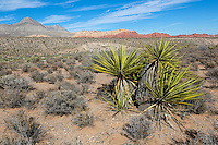 Red Rock Canyon, Nevada.  Mojave Yucca (Yucca Schidigera).  Keystone Thrust in background, showing Turtlehead Peak.  Calico Hills on right.