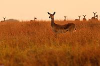 Africa, Uganda , Queen Elisabeth park,Ugandan Kob