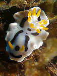 Orchid Island, Taiwan -- The nudibranch Chromodoris dianae.<br /> <br /> All specimens of Chromodoris dianae have the black spot between the yellow rhinophores. C. dianae is common on reef faces where it feeds ob foliose sponges.
