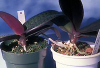 Side by side comparison of repotted Phalaenopsis, with left one seated properly, and right one seated too high in the pot, allowing roots to dry out too much.