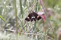 Ackerwinden-Trauereule, Feldflur-Windeneule, Tyta luctuosa, four-spotted moth, field bindweed moth, la Funèbre, Eulenfalter, Noctuidae, noctuid moths, noctuid moth