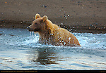 Alaskan Coastal Brown Bear Fishing at Dusk, Silver Salmon Creek, Lake Clark National Park, Alaska