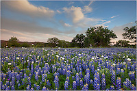 Texas Bluebonnets cover a field in the Texas Hill Country. This evening, the Texas wildflowers were still and aromatic in the Texas Hill Country.