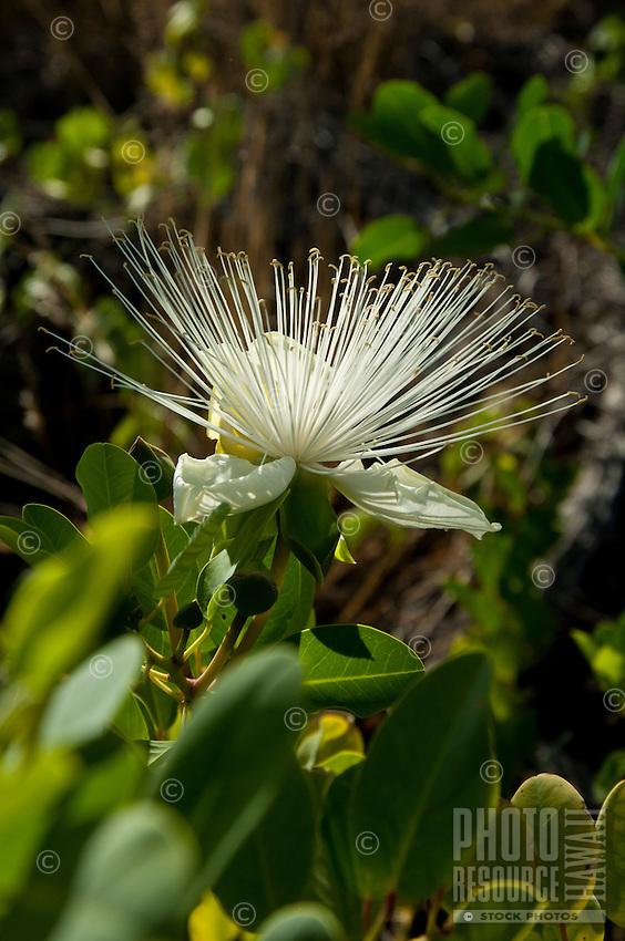 A close-up of a maiapilo flower on Maui.