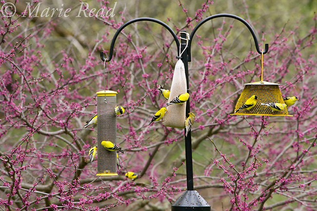 American Goldfinches (Carduelis tristis) at various types of backyard bird feeders in spring, New York, USA