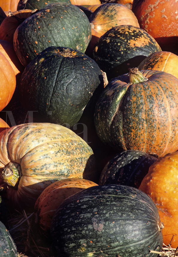 Fall Harvest pumpkins squash