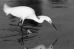 A black and white photograph of a snowy egret fishing.Using its feet to scare fish to its beak.