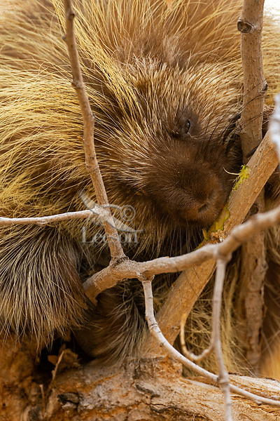 North American porcupine (Erethizon dorsatum)--also known as the Canadian porcupine or common porcupine eating bark on cottonwood tree branch.  Western U.S., late fall.
