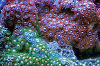 Acan corals. Upscales store. Tualitin. Oregon