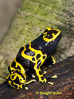 FR24-536z   Yellow Banded Poison Arrow Frog,  Dendrobates leucomelas, Central and South America