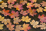 Maple leaves in small pool, South Island, New Zealand
