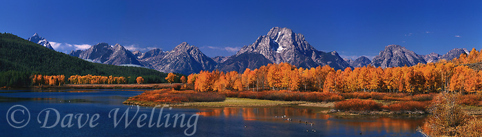 937000014 panoramic view of a fall morning with yellow colored aspens frame mount moran and the teton range with canadian geese grus canadensis in the foreground in the snake river at oxbow bend grand tetons national park wyoming