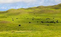 Cattle graze on rolling hills of green pastureland in Waimea,  Kamuela, Big Island.