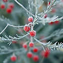 Autumn hoar frost on asparagus berries, late October.