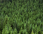 Coniferous forest in the Cascade Mountain Range, near Seattle, Washington, USA. .  John offers private photo tours and workshops throughout Colorado. Year-round.