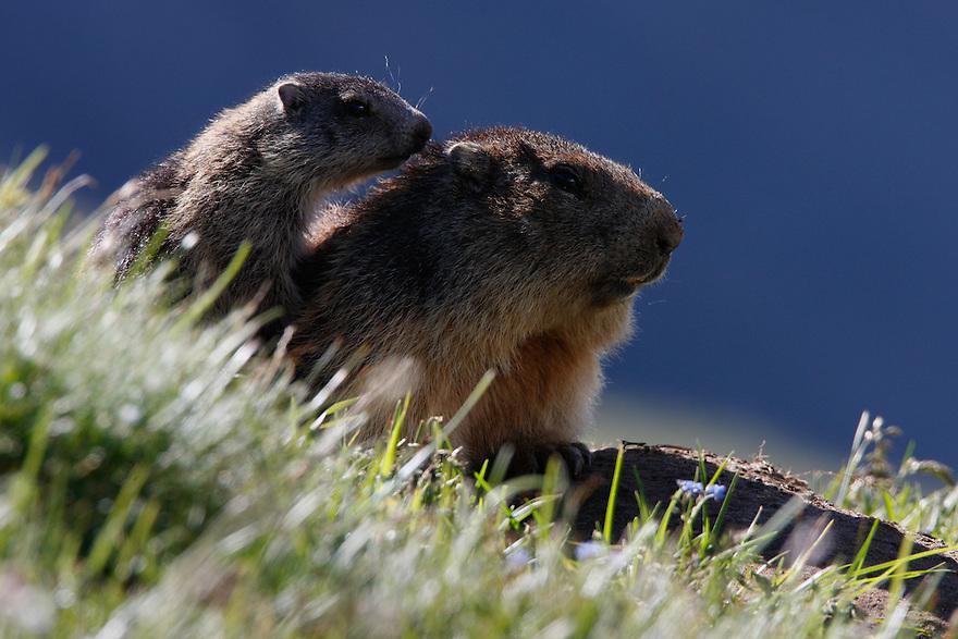 Alpine Marmot (Marmota marmota) Hohe Tauern National Park, Carinthia, Austria