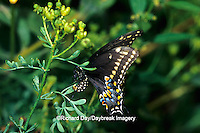 03009-01019 Black Swallowtail (Papilio polyxenes) female laying eggs on Rue (Ruta graveolens) Marion Co. IL