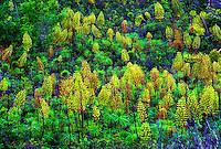 Flowering iliau (wilksia) on the island of Kauai