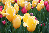 Stock photo: Close up of three yellow tulips in the field of tulips.
