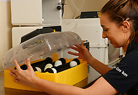 BNPS.co.uk (01202 558833)<br /> Pic: ZacharyCulpin/BNPS<br /> <br /> More penguin eggs are kept in an incubator as part of the new breeding programme. <br /> <br /> The world's smallest breed of penguin has arrived in Europe after six tiny chicks hatched on the south coast of England.<br /> <br /> The group of adorable Fairy Penguins have been born at Weymouth Sea Life Adventure Park in Dorset as part of a new breeding programme.<br /> <br /> They will eventually grow to around 13ins tall but now, aged just weeks old, they are the roughly the same size as a large gerbil. <br /> <br /> The pocket-sized creatures were born from a colony of Fairy Penguins from their sanctuary in Australia in 2018.