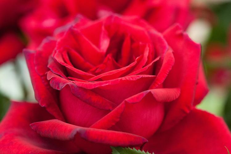 Rosa Velvet Fragrance ('Fryperdee'), early July. A deep crimson Hybrid Tea rose, bred by Fryer, 1984.