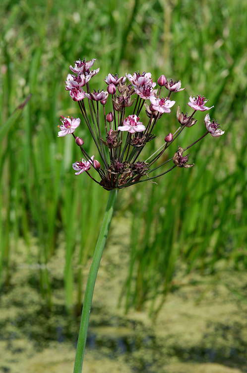 FLOWERING-RUSH Butomus umbellatus (Butomaceae) Height to 1m. Attractive perennial that grows in the vegetated margins of still or slow-flowing freshwater. FLOWERS are 25-30mm across and pink; borne in umbels (Jul-Aug). FRUITS are purple. LEAVES are rush-like, 3-angled and very long, arising from the base of the plant. STATUS-Locally common only in England and Wales.