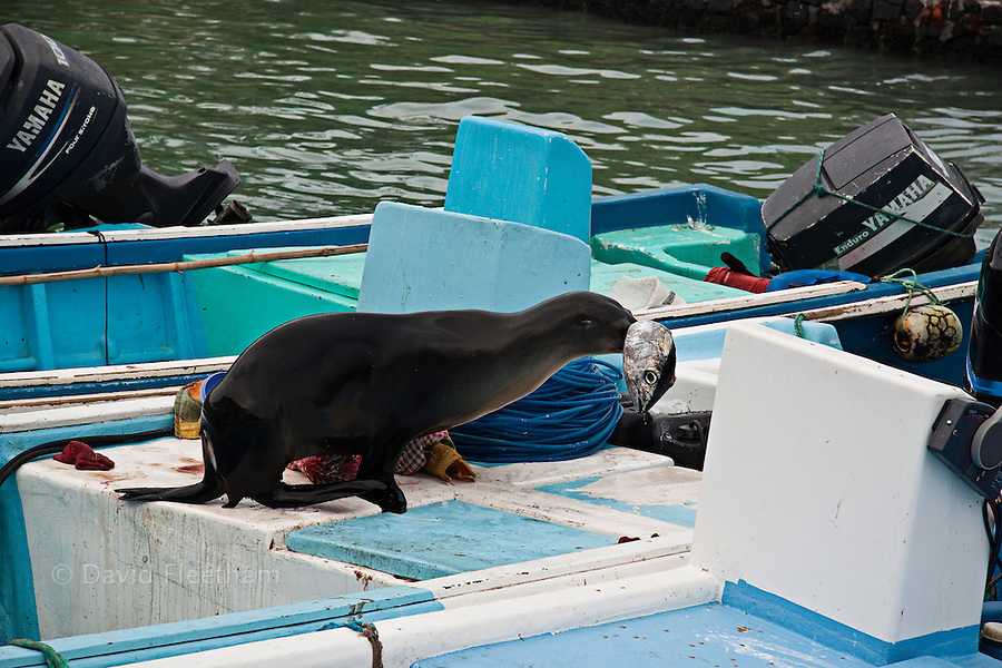 A Galapagos sea lion, Zalophus californianus wollebacki, steals a tuna off a fishing boat parked at the market in the town of Puerto Ayora, Santa Cruz Island, Galapagos Archipelago, Ecuador.