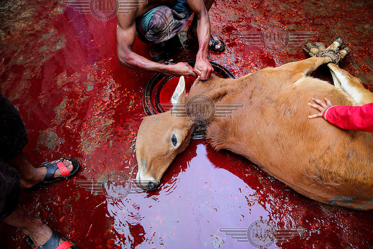 A Bihari butcher, sits in a pool of blood, as he slaughters a cow in an urban refugee camp popularly known as 'Geneva Camp'.