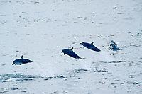 striped dolphins, Stenella coeruleoalba, eastern tropical Pacific Ocean