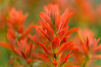 Common Paintbrush (Castilleja miniata)--wildflower, Mount Rainier National Park, WA.  Summer.