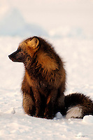 A cross fox surveys the tundra on Alaska's north slope.