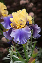 Iris 'Edith Wolford', mid May. A tall bearded iris germanica with soft golden-yellow flowers and blue-violet falls.
