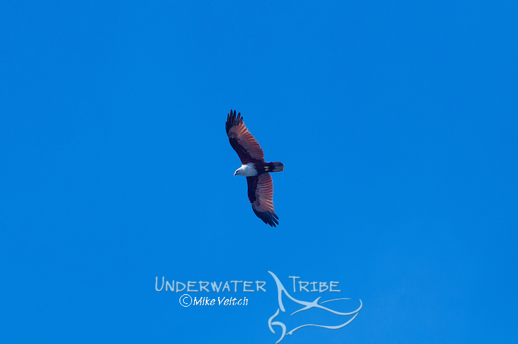 A brahminy kite, Haliastur indus, soars above Komodo National Park, Flores, Indonesia