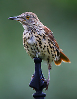 First-year brown thrasher