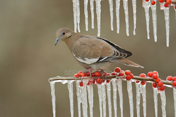White-winged Dove (Zenaida asiatica), adult perched on icy branch of Possum Haw Holly (Ilex decidua) with berries, Hill Country, Texas, USA