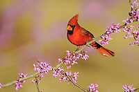 northern cardinal, Cardinalis cardinalis, male on eastern redbud, Cercis canadensis, Dinero, Lake Corpus Christi, Texas, USA, North America