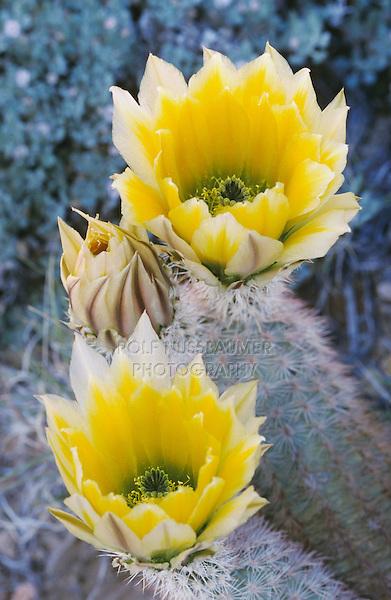 Texas Rainbow Cactus, Echinocereus dasyacanthus, blossom, Big Bend National Park, Texas, USA, March 2005