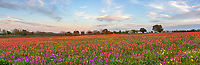 Texas Wildflowers Pano 2 - Texas wildflowers in this field was super colorful on this day with yellows, reds, purple, on this hill side. This was the most intense field we have seen so far this year. These colorful wildflower in texas were mostly east of San Antonio. In any case texas has some spectalular colors this spring.