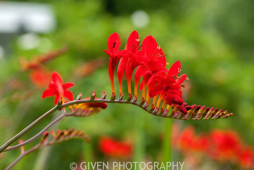 Crocosmia Lucifer flower, Washington