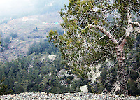 Stock photo: Pine tree on the edge of a cliff on the Troodos mountain Cyprus.