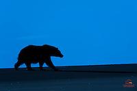 Silhouette of Brown Bear on Beach at Dawn, Lake Clark National Park, Alaska