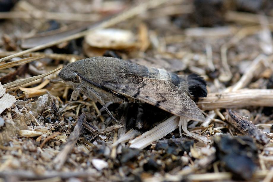 Meekrab, Kolibrievlinder of Onrust (Macroglossum stellatarum)