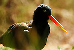 Black Oystercatcher, Haemaopus bachmani, through foilage, soft focus, captive.USA....