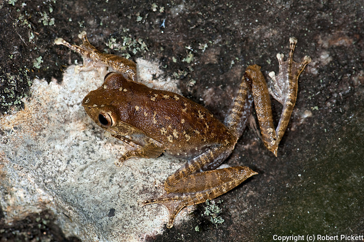 Madagascar Bright Eyed Frog, Boophis madagascariensis, on stone wall, Ranomafana National Park, Madagascar, Least Concern on the IUCN Red List