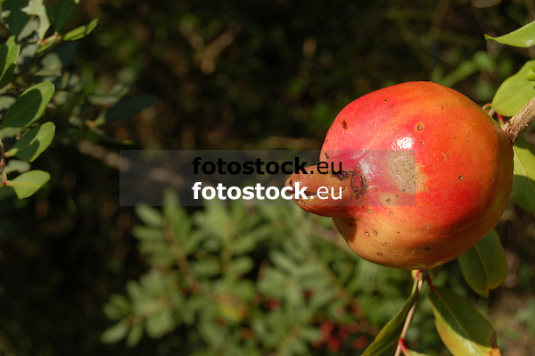 Ripe pomegranate at tree<br /> <br /> Granada madura en &aacute;rbol<br /> <br /> reifer Granatapfel am Baum<br /> <br /> bot.: Punica granatum<br /> <br /> 3008 x 2000 px<br /> 150 dpi: 50,94 x 33,87 cm<br /> 300 dpi: 25,47 x 16,93 cm