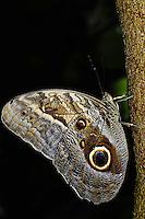 Owl Butterfly, Caligo memnon