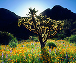 USA, Arizona,  Organ Pipe Cactus National Monument.  Wildflowers and Cacti.