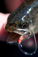Detail macro shots of Eastern Brook Trout (Salvelinus fontinalis) from Michigans Upper Peninsula.