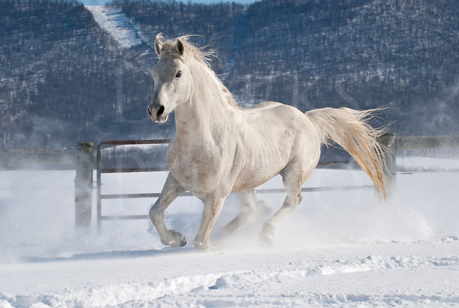 Picture of Arabian stallion running in fresh snow on a horse farm.